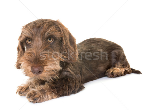 puppy Wire-haired Dachshund Stock photo © cynoclub