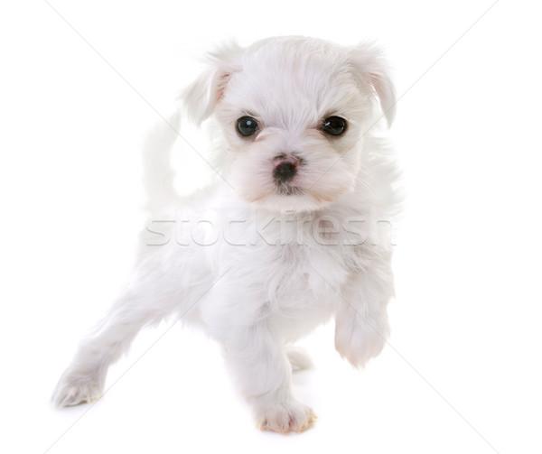 Cucciolo cane bianco Foto d'archivio © cynoclub