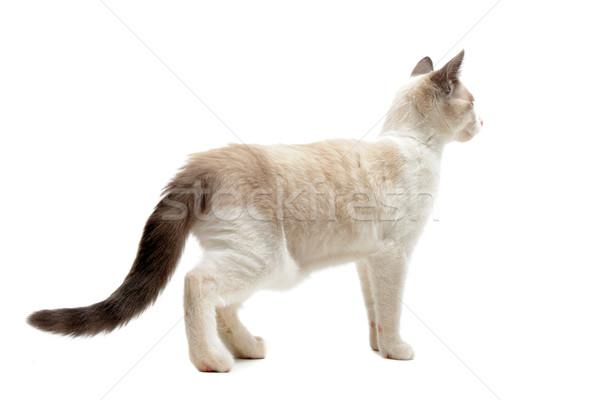 вид сзади котенка белый кошки ходьбе Сток-фото © cynoclub