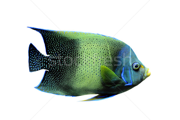 kaiserfisch Stock photo © cynoclub