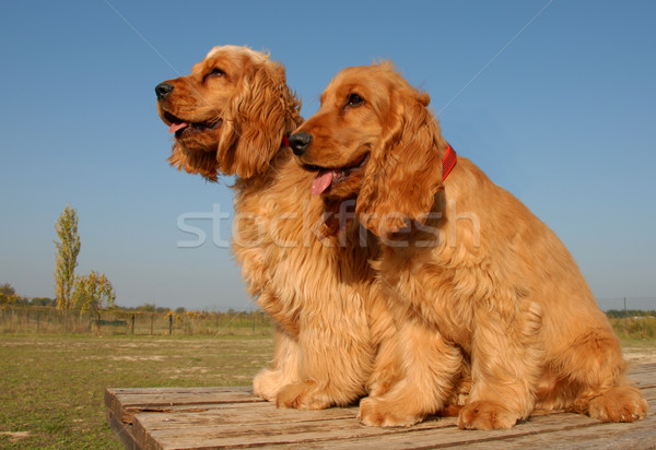 two puppies english cockers Stock photo © cynoclub