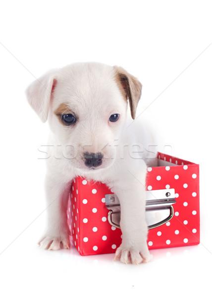 Kutyakölyök terrier portré aranyos doboz fehér Stock fotó © cynoclub