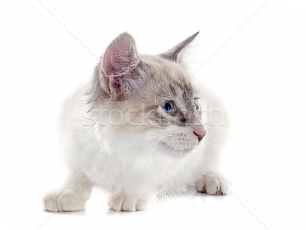 котенка белый глазах кошки ПЭТ белом фоне Сток-фото © cynoclub