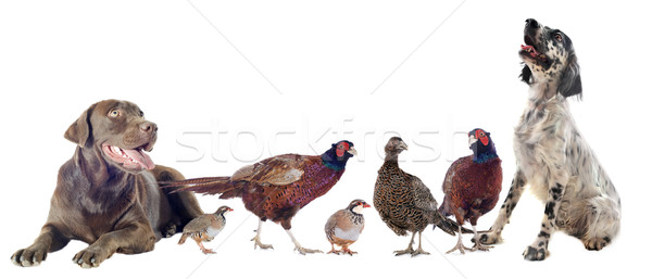 game birds and hunting dogs Stock photo © cynoclub