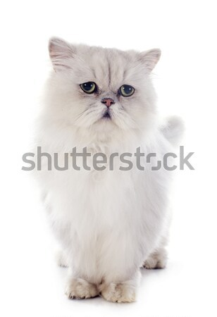 Blanche chat persan chat animal Photo stock © cynoclub