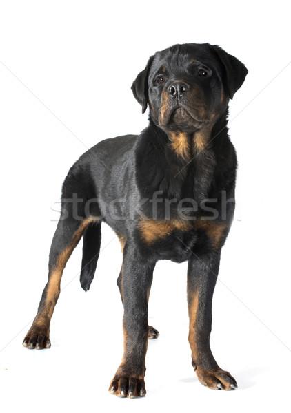 Rottweiler portre köpek yavrusu beyaz siyah Stok fotoğraf © cynoclub