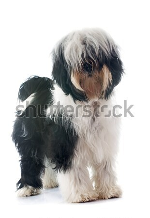 Wirehaired Pointing Griffon Stock photo © cynoclub