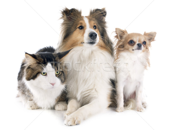 dogs and cat Stock photo © cynoclub