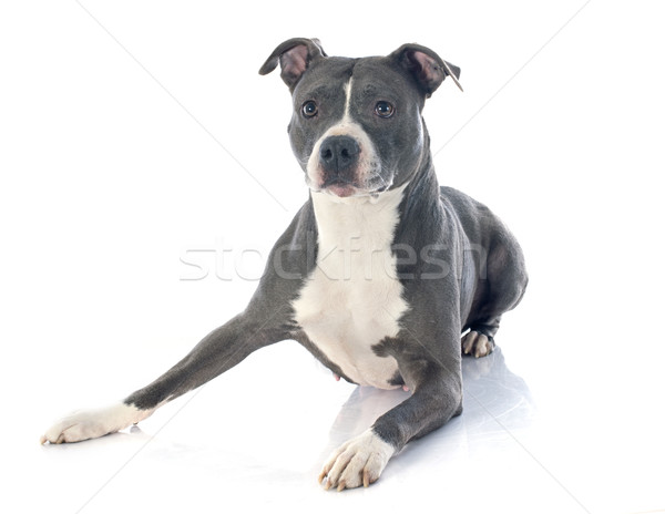 american staffordshire terrier Stock photo © cynoclub