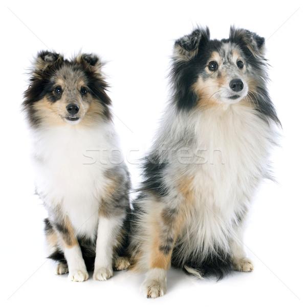 shetland puppy and adult Stock photo © cynoclub