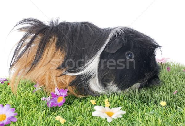 Guinea pig Stock photo © cynoclub