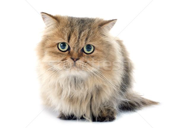 ペルシャ猫 白 猫 小さな スタジオ 白地 ストックフォト © cynoclub