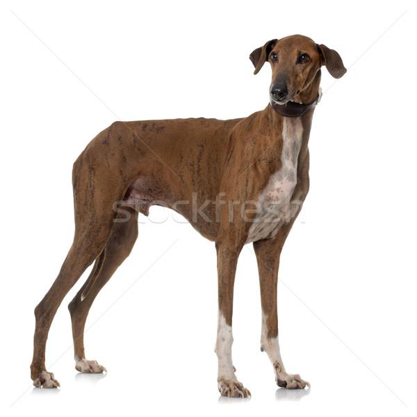 коричневый гончая белый собака животного студию Сток-фото © cynoclub