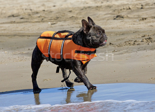 Francês buldogue resgatar jaqueta caminhada praia Foto stock © cynoclub