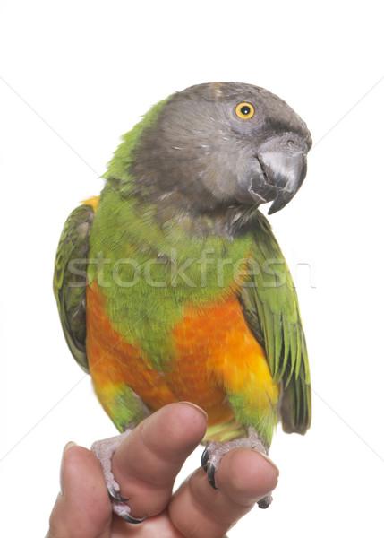 Senegal pappagallo studio bianco mano verde Foto d'archivio © cynoclub