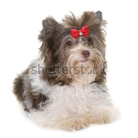 dressed puppy biro yorkshire terrier Stock photo © cynoclub