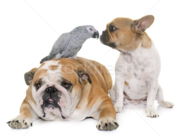 bulldogs and parrot Stock photo © cynoclub