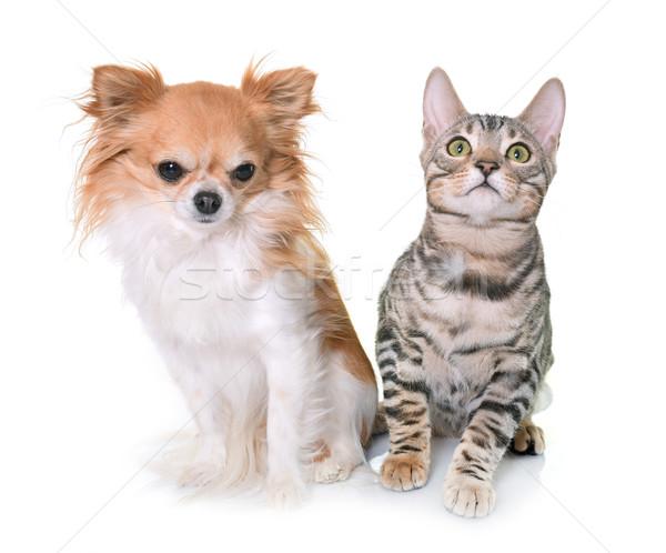 bengal kitten and chihuahua Stock photo © cynoclub