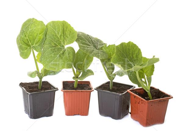 Rouge squash citrouille plantes blanche groupe Photo stock © cynoclub