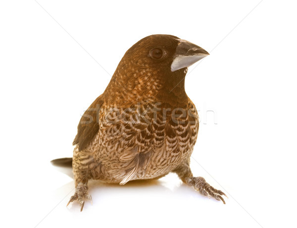 Society finch in studio Stock photo © cynoclub