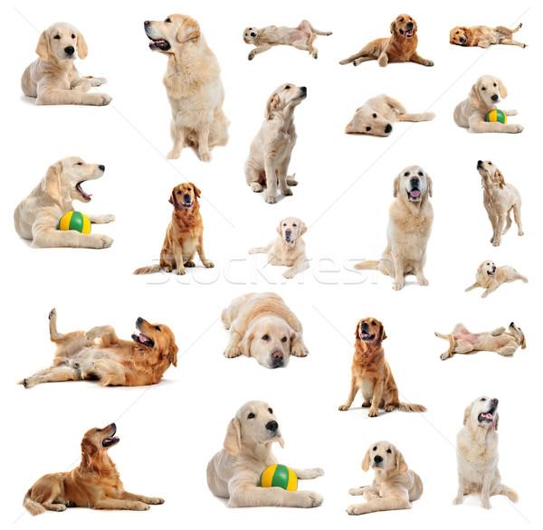 Golden retriever grupo cachorro branco estúdio Foto stock © cynoclub