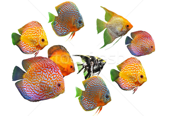 group of fishes Stock photo © cynoclub