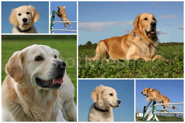 Golden retriever foto honden puppies Stockfoto © cynoclub