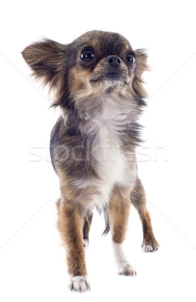 brindle chihuahua Stock photo © cynoclub
