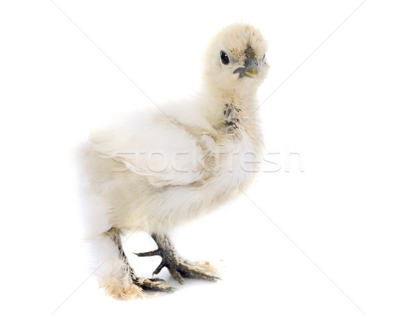 young Silkie Stock photo © cynoclub