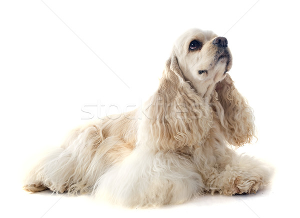 american cocker spaniel Stock photo © cynoclub