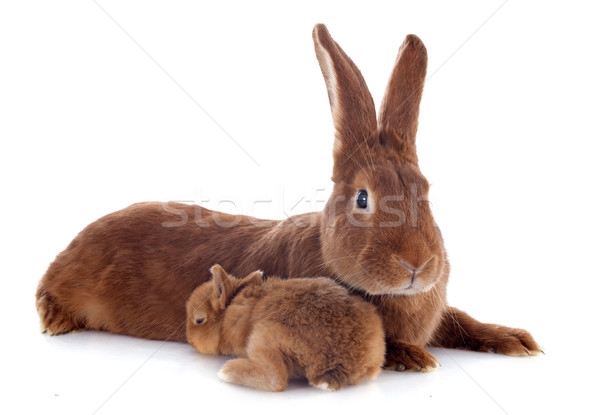 young rabbit and mother Stock photo © cynoclub