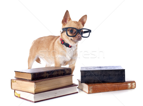 Stock photo: chihuahua and glasses