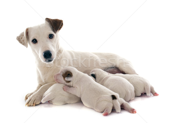 family jack russel terrier Stock photo © cynoclub