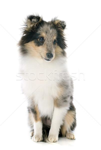 shetland puppy Stock photo © cynoclub