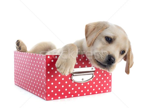 Cachorro labrador retriever cuadro estudio perro Foto stock © cynoclub