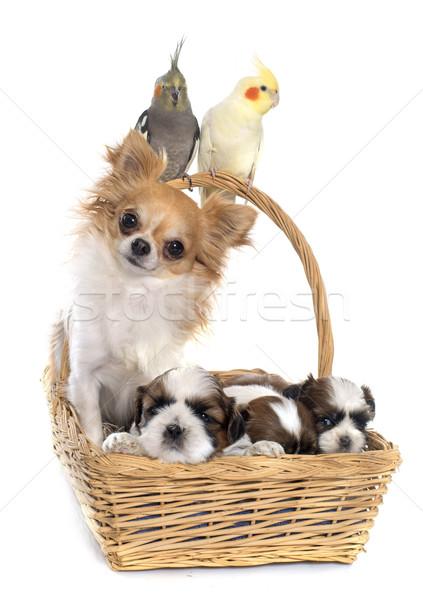 Trzy psów psa biały ptaków zwierząt Zdjęcia stock © cynoclub
