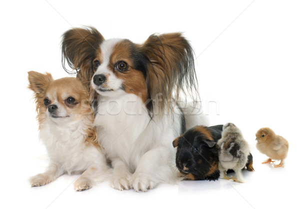 Stock photo: dogs, chicks  and guinea pig