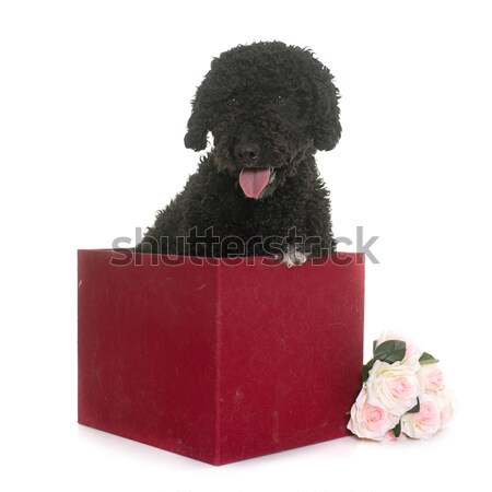 poodle in studio Stock photo © cynoclub