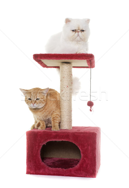two cats on scratching post Stock photo © cynoclub