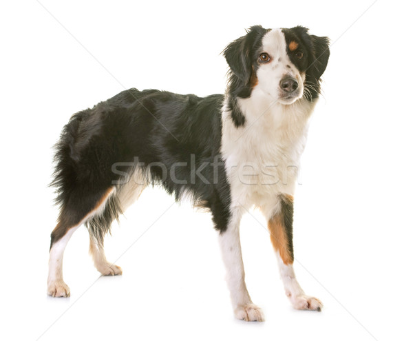 Miniatura americano pastor branco cão feminino Foto stock © cynoclub