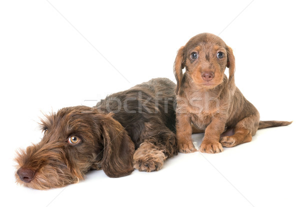 puppies Wire-haired Dachshund Stock photo © cynoclub