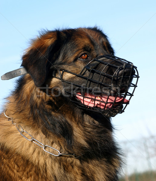 leonberger and muzzle Stock photo © cynoclub
