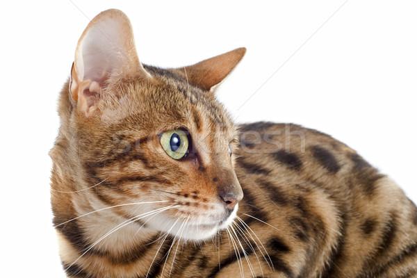 猫 肖像 白 目 ストックフォト © cynoclub