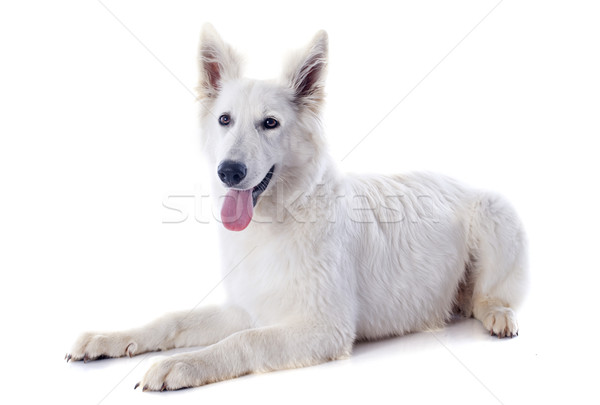 Swiss shepherd  Stock photo © cynoclub