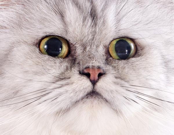 頭 ペルシャ猫 白 赤ちゃん 猫 女性 ストックフォト © cynoclub