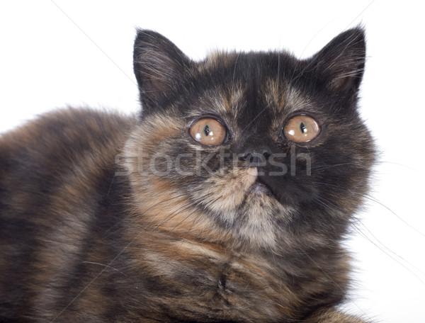 Stockfoto: Exotisch · korthaar · kitten · witte