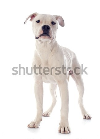 Amerikai bulldog fehér állat stúdió ül bulldog Stock fotó © cynoclub