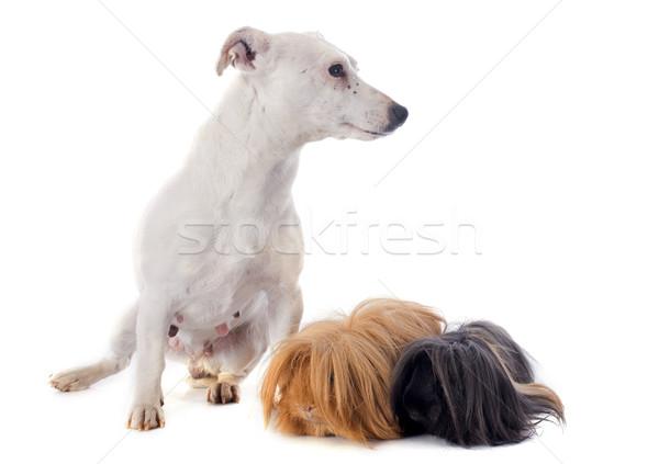 морская свинка собака терьер белый друзей черный Сток-фото © cynoclub