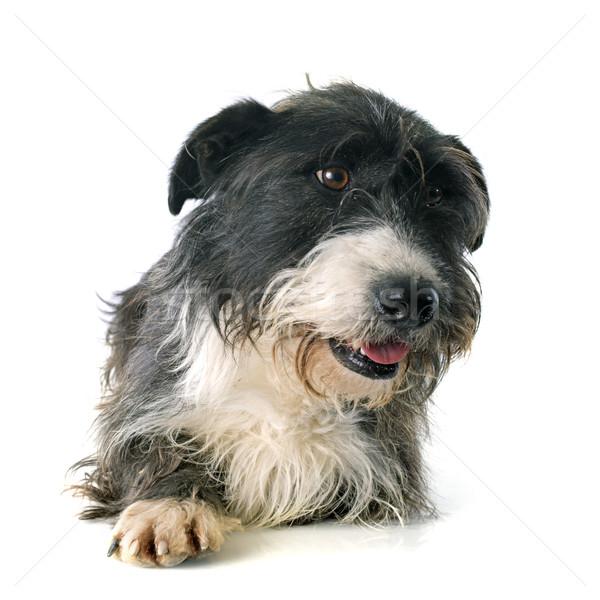 griffon dachshund Stock photo © cynoclub