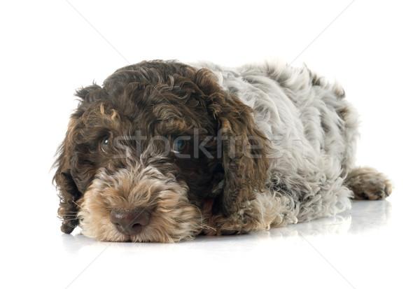 Romagna Water Dog Stock photo © cynoclub